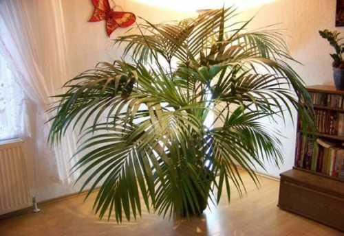пальма ливистона: размножение и уход в домашних условиях