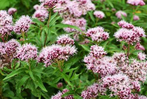 валериана целебные травы полезные свойства и вред валерианы